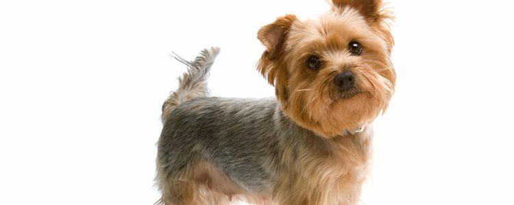 El Yorkshire Terrier aunque tiene el pelo largo, no lo pierde