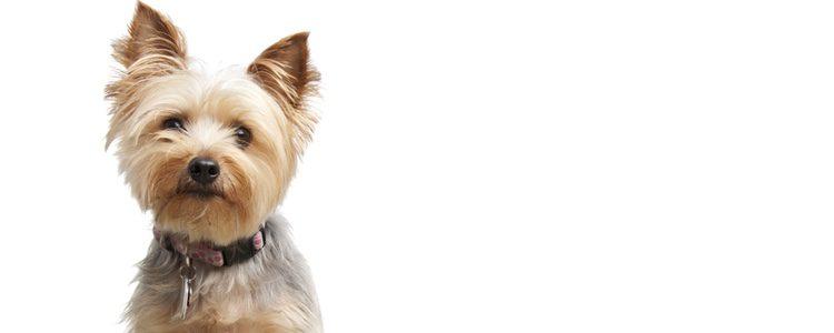 Es un perro de pequeño tamaño y pelaje abundante