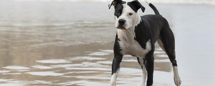 Una mascota que puede vivir con niños, pero no con personas mayores debido a su fuerza