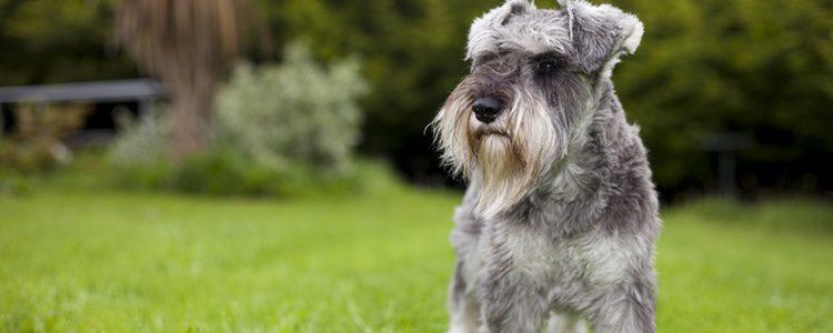 Un can de raza alemana leal e inteligente