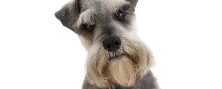 El Schnauzer es un perro de pequeño tamaño y pelaje largo en varias tonalidades