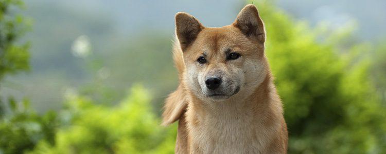 Akita Inu, un perro japonés con un encanto especial