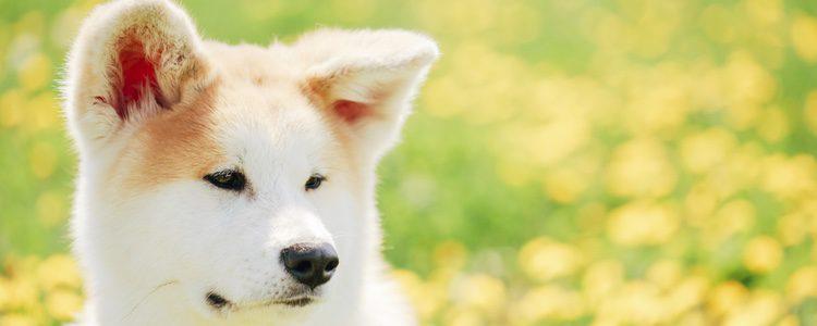 Es un perro de estatura media que presenta varias tonalidades
