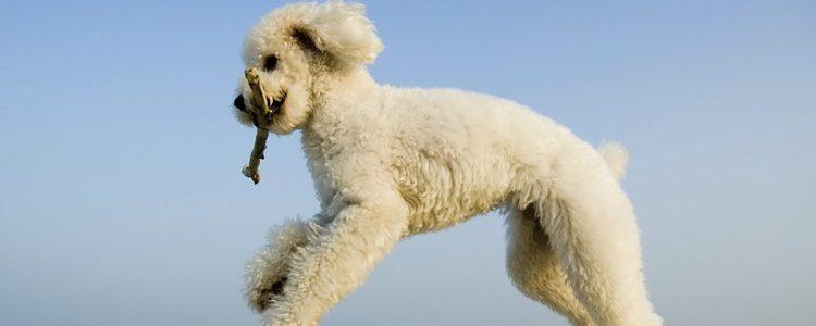 Caniche saltando