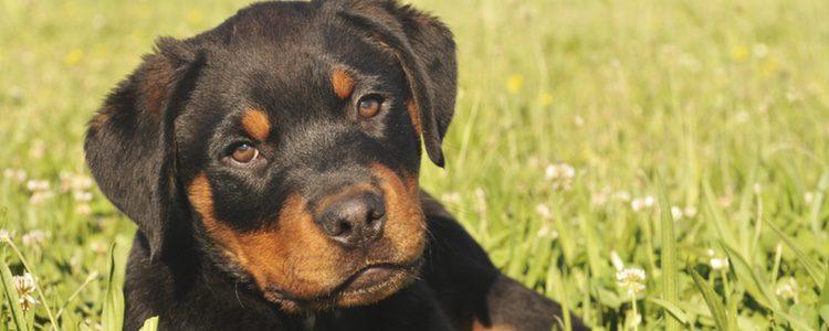 Un perro que necesita un cuidado constante, sobre todo, hacer ejercicio regularmente