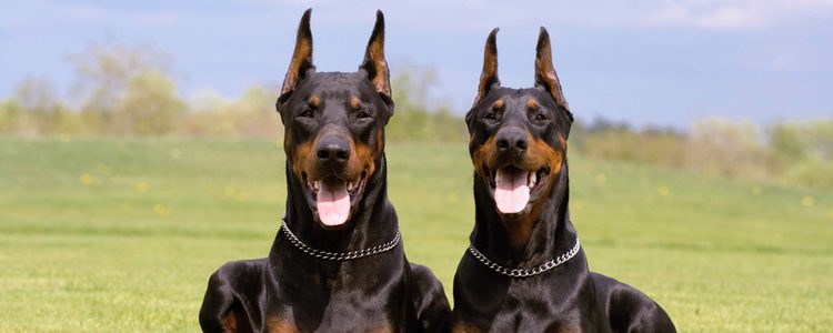 El Doberman es un perro de raza alemana