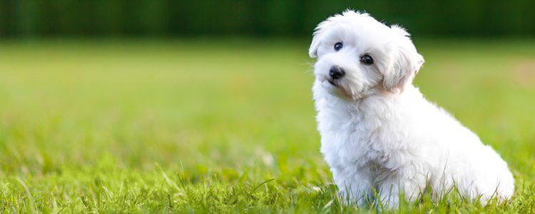 El Bichón Maltés es un perro de alarma, muy protector