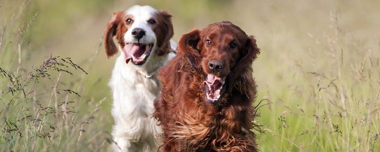 Es una raza de perro que se considera normalmente limpia.