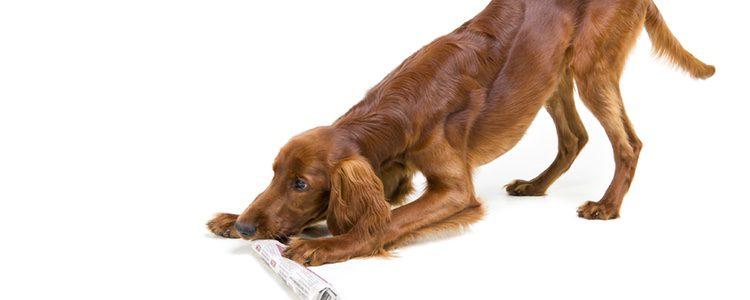 Su carácter de perro cazador hay que tenerlo muy controlado llevándolo siempre atado.