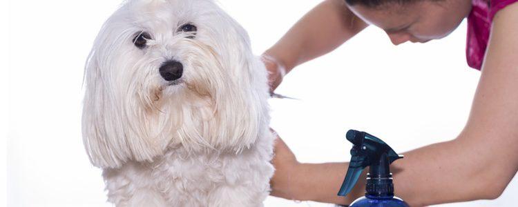 Los peluqueros caninos previenen también infecciones en la higiene de tus mascotas.