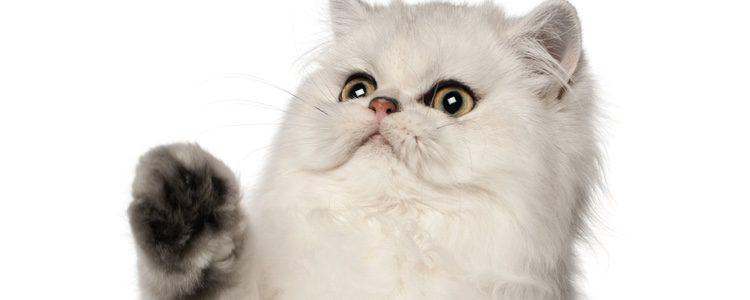 Los gatos persa provienen de la antigua Persia.