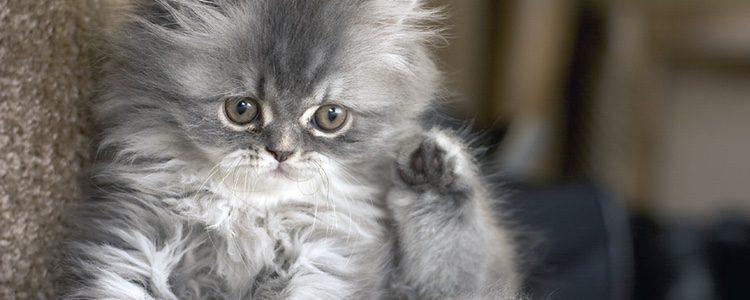El gato persa es considerado una raza relacionada con la alta sociedad.