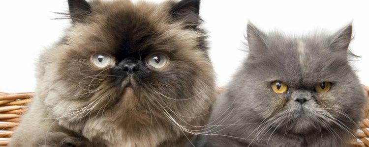 Los gatos persa son ideales para vivir con los humanos