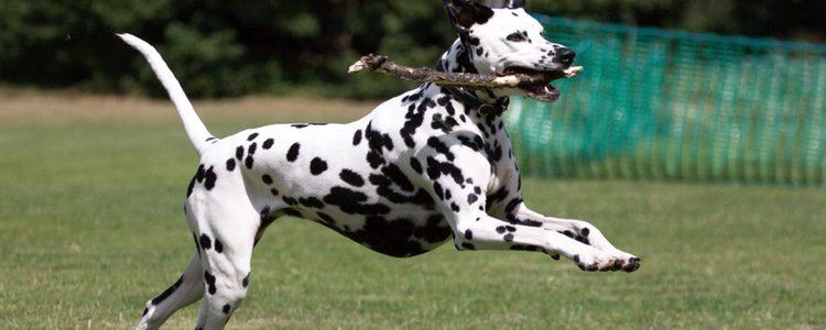 Son una raza de perros serena pero también activa a la que le gusta moverse