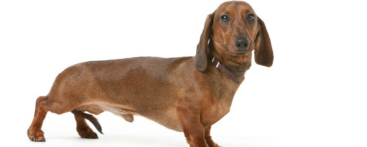 El perro Salchicha es un gran rastreador