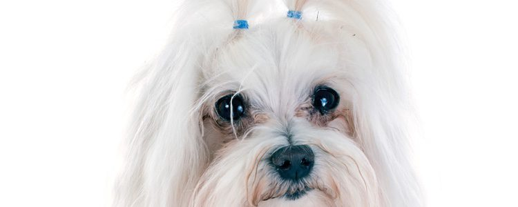 Muchos de estos perros con pelos largos participan en muchos concursos