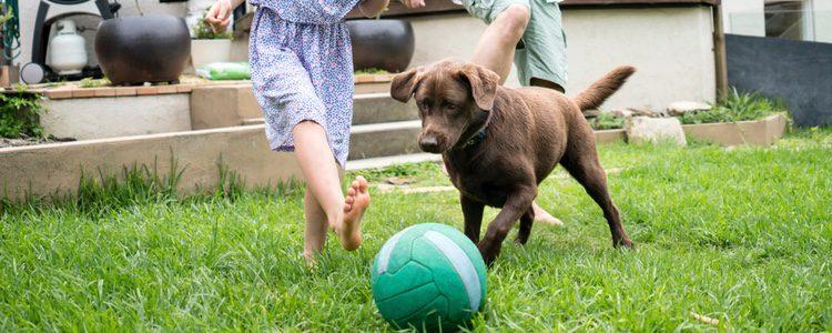 En muchas ocasiones el lanzamiento de pelotas muy repetido puede causarle estrés