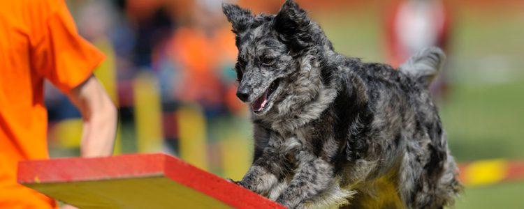 Proviene de los pastores alemanes y es una raza más fuerte y resistente