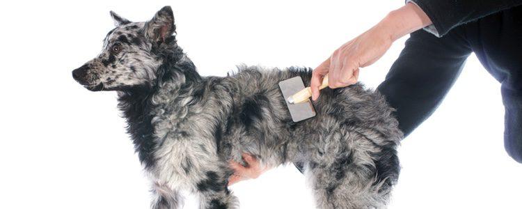 Es necesario cepillar el pelo del perro cada día