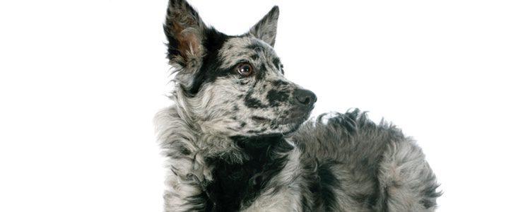 Es un perro muy fuerte aunque puede parecer ansiedad canina