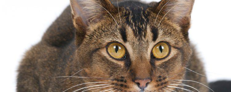 El gato Abisinio procede de Etiopía