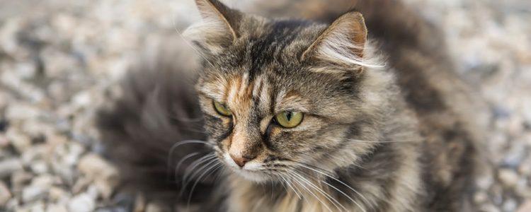 El Siberiano es un gato muy fiel a sus dueños