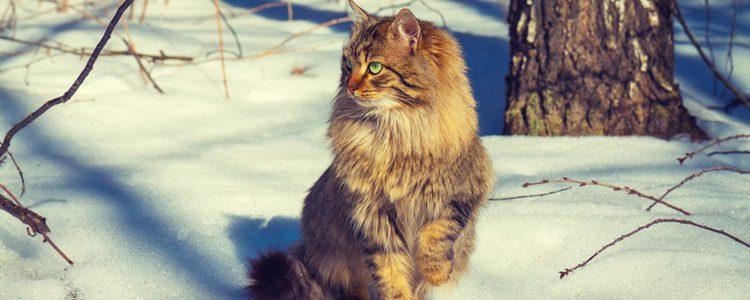 El Siberiano no posee la proteína causante del 80% de las alergias de los humanos a los gatos