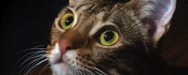 Posee unos ojos muy grandes almendrados y ligeramente oblicuos