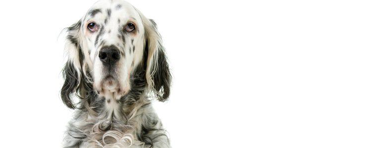 Es un perro muy activo, aunque se acostumbra a la tranquilidad