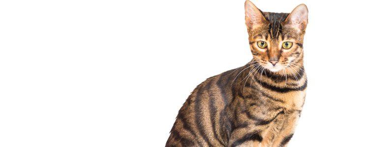 Es uno de los gatos más elegantes que se conocen