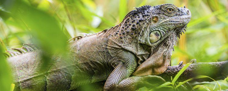 El ecosistema natural de las iguanas es muy variado