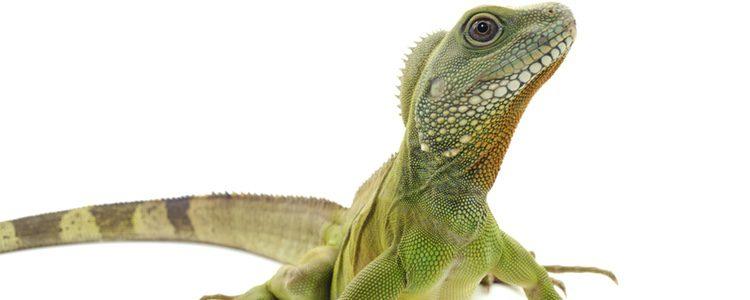 Las iguanas deben tener unos cuidados muy específicos para su supervivencia