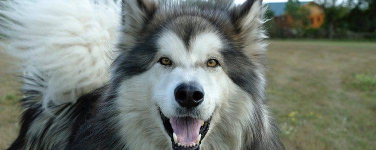 Perro típico en la zona de Alaska