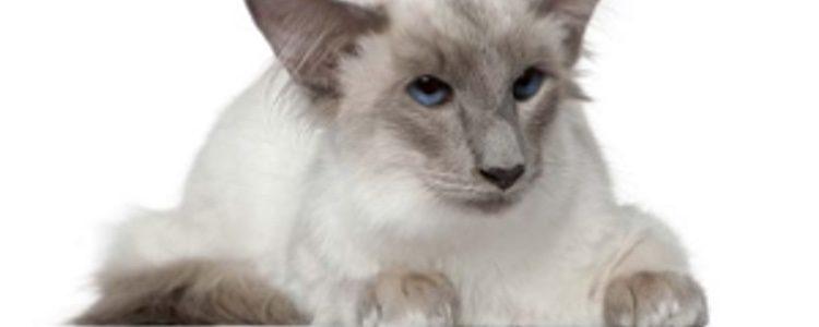 Esta raza de felino tiene características similares al siamés
