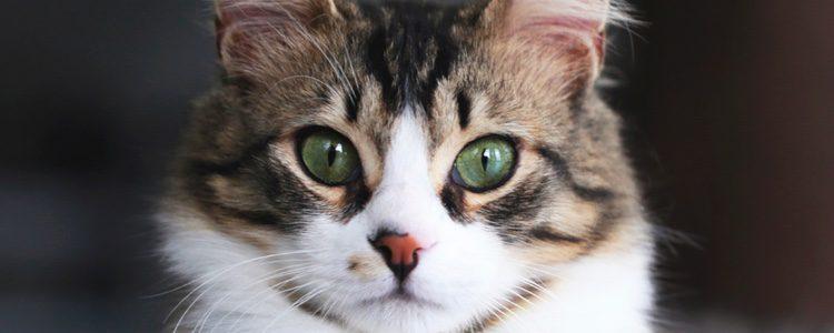 Hay que llevar cuidado porque tu felino se puede volver agresivo