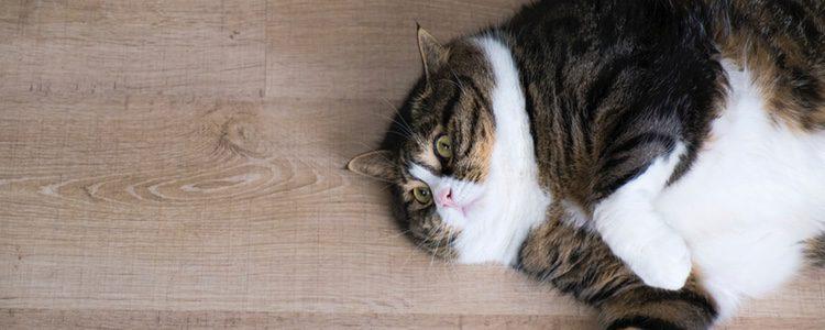 La obesidad es un problema en los felinos de alta edad