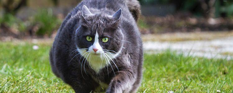 Necesario que el gato haga ejercicio para bajar de peso