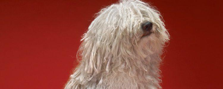 El baño es obligatorio para esta mascota debido a la naturaleza de su pelo