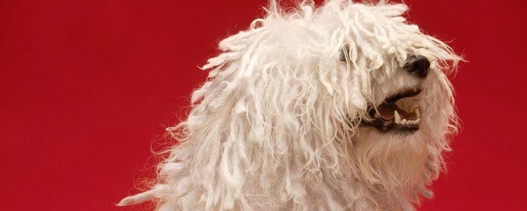 Su característica más llamativa es su pelaje en forma de rastas