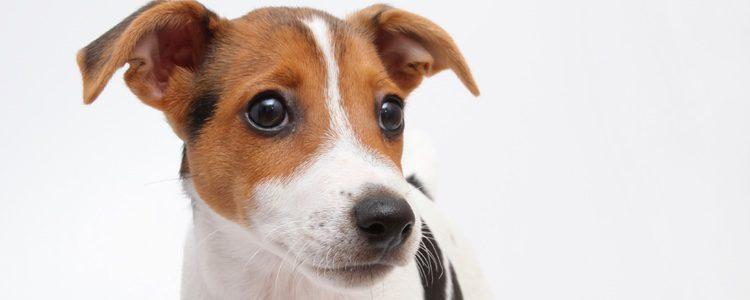 Es un perro ágil, ratonero y poseedor de un gran equilibrio