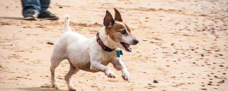 Es un perro que le encanta jugar y corretear será un perfecto compañero de juegos