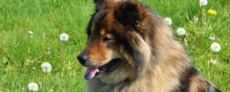 Es un perro con colores atractivos y buen carácter