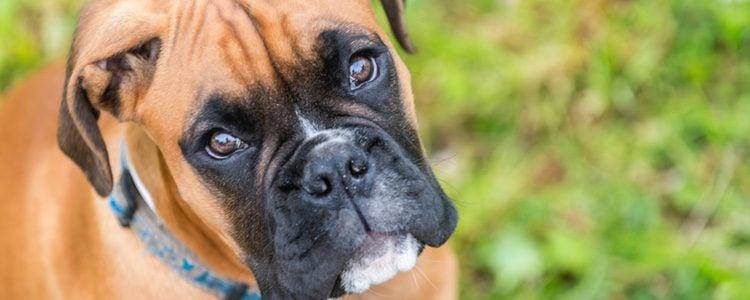 El boxer es un perro muy protector por eso puede llegar a ser agresivo