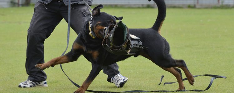 El Rotweiller es una de las razas más agresivas