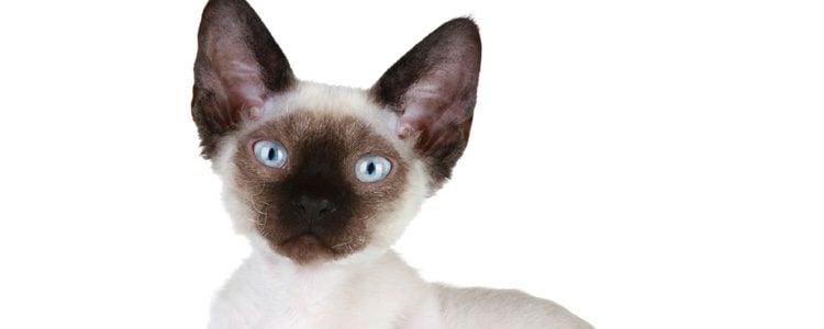 Es un gato muy parecido al Cormish Rex