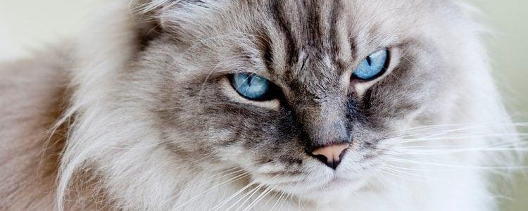 Es un gato proveniente de California
