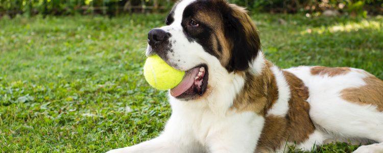 El San Bernardo es un perro perfecto para disfrutar en familia