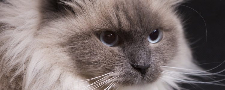 Sus ojos suelen ser de un azul intenso, con mirada dulce y juguetona