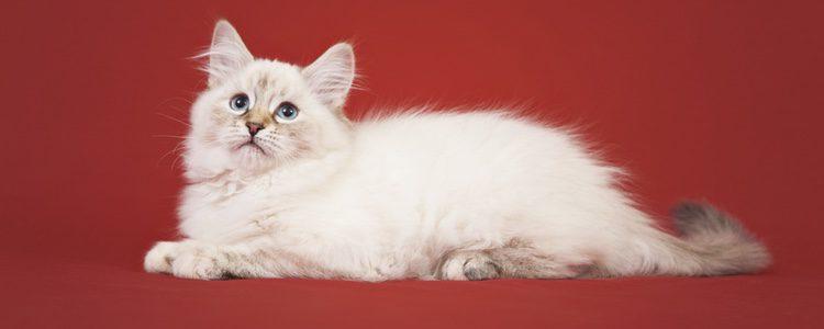 Este tipo de gato reclama atención continua de la persona que haya elegido como 'favorita'