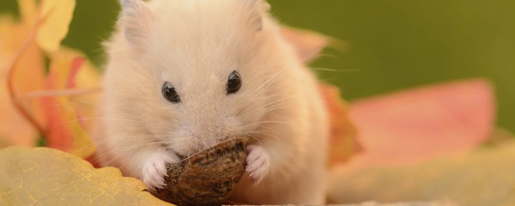 Estos pequeños roedores comen hasta la saciedad